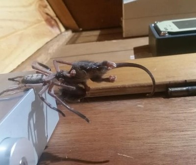 Araña gigante devora una zarigüeya pigmea ante mirada de turistas