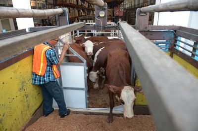 Uruguay habilitará en las próximas semanas la importación de ganado en pie de países de la región
