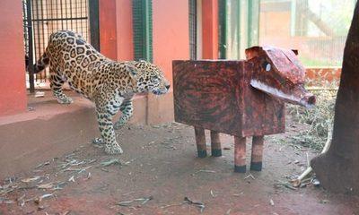 Jaguaretés se distraen con juguetes hechos de materiales reciclados