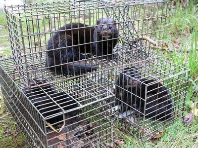 """Chile: En busca y captura del visón, un animal invasor """"muy dañino"""""""
