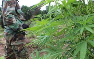 HOY / Marihuana incautada podría utilizarse para producción de aceite de cannabis