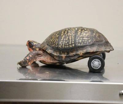 Esta es la historia de Pedro, la tortuga que perdió dos piernas