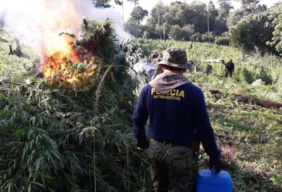 Eliminan cultivos de marihuana en Amambay