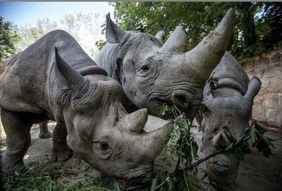 Rinocerontes europeospara repoblar África