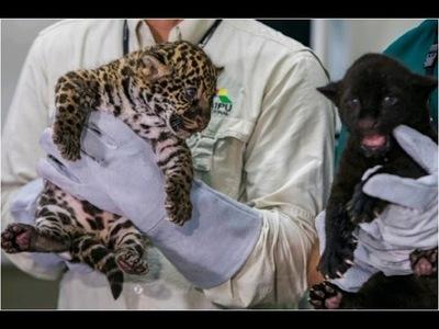 Nacen jaguares en refugio biológico de Itaipú