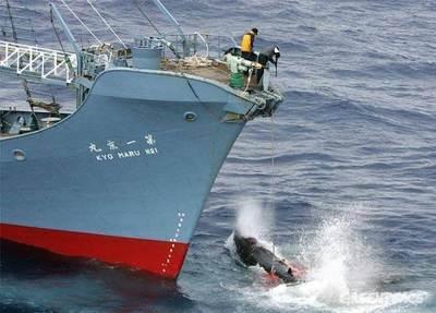 Japón reanuda la caza comercial de ballenas