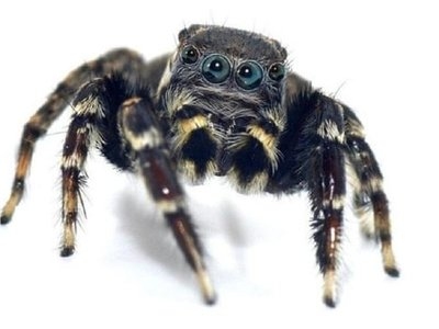 Descubren especies de arañas y una recibe el nombre Karl Lagarfeld