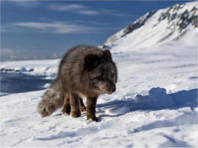 Caminata récord de un zorro ártico, desde Noruega hasta Canadá