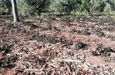 Cultivos dañados por helada en Paraguarí