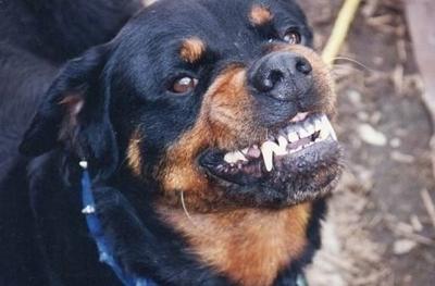 HOY / Perro rottweiler destroza brazo  de hombre y médicos tuvieron  que amputarlo