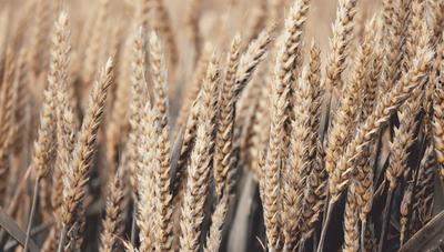 Trigo: con 350.000 hectáreas cultivadas esperan producir más de 1,3 millones de toneladas
