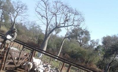 HOY / Cuádruple asesinato en Chaco:  recuperan más vacas y están  para desarticular gavilla, dicen