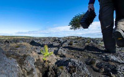Islandia replanta a toda prisa los bosques arrasados por los vikingos