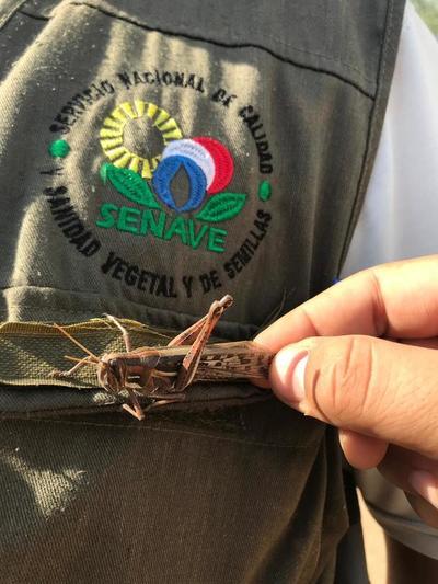 El 90% de langostas ya han sido controladas, según expertos del SENAVE