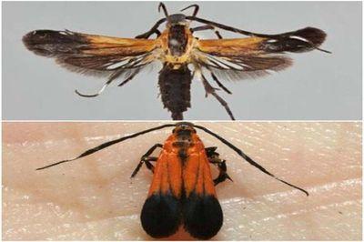 Costa Rica descubre dos nuevas especies de mariposas nocturnas