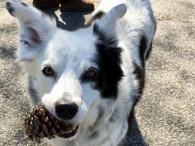 """Muere """"Chaser"""", el perro más inteligente del mundo"""