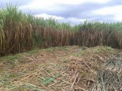 Petropar anuncia compra de caña de azúcar