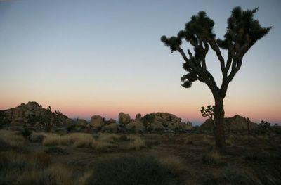 El cambio climático podría acabar con los árboles de Josué