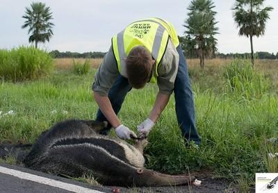 Buscan reducir muerte de animales en carretera del Chaco