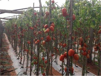 Tomateros se encuentran acogotados por contrabando