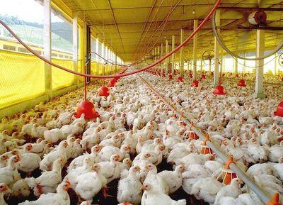 Los envíos avícolas crecieron