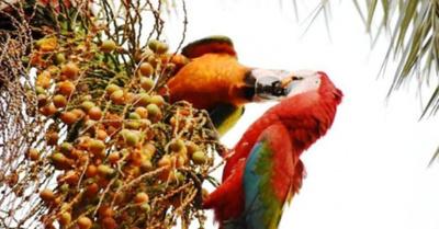 Liberación de  guacamayos es  de un proyecto