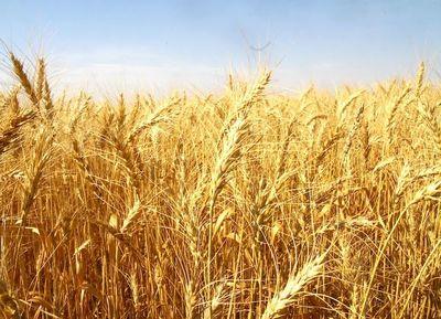 El trigo está expectante ante un desarrollo variable