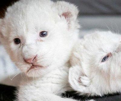 Cachorros de león blanco nacieron en Francia