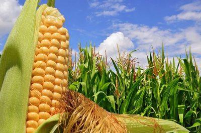 Buena calidad del maíz favorece a exportaciones