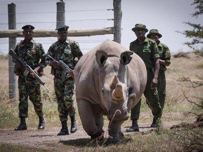 Logran fecundar 7 óvulos para salvar a los rinocerontes blancos