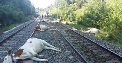 Tren asesino de vacas