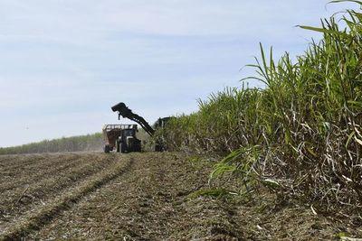 Recolección de caña de azúcar para la industria