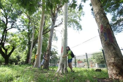 Comuna asuncena aprueba derribar 177 árboles nativos