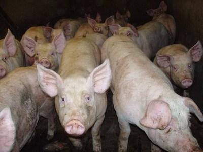 Continuará muy firma de la demanda de carne en China ya que por la fiebre porcina habría perdido un 50% de su producción de cerdos