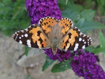 Desarrollan un modelo que predice las migraciones de las mariposas