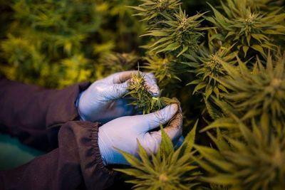 Industria del cannabis pide regulación en Colombia para dinamizar la economía