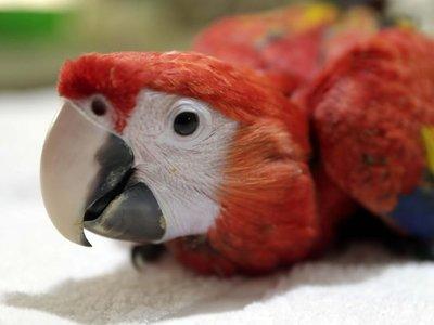 Nicaragua: Zoo da la bienvenida a guacamaya roja reproducida en cautiverio