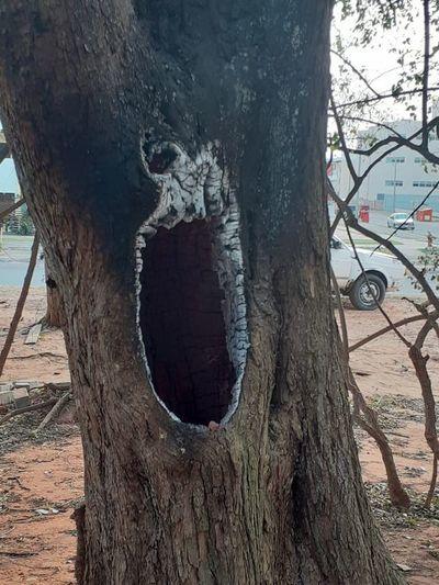 Queman frondoso árbol