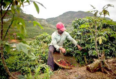 Brasil prevé una baja de 20,5% en la cosecha de café en 2019