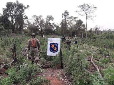 Destruyen 3 hectáreas de plantación de marihuana en Canindeyú