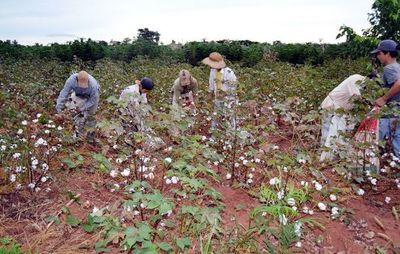El MAG no entregará  semillas  de algodón y  cultivo agoniza