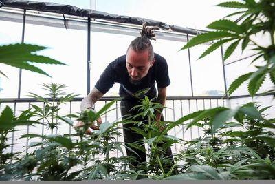 Más preguntas que respuestas en la regulación del cannabis médico en Ecuador