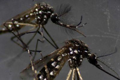 Mosquitos brasileños infectados con bacterias impactan en la lucha contra el  dengue