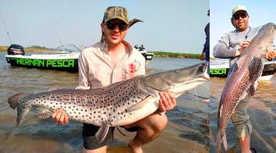 Pescaron un surubí de 35 kilos en Corrientes y lo devolvieron al río