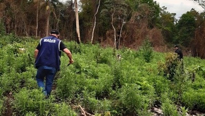 Hallan y destruyen marihuana en Parque Nacional