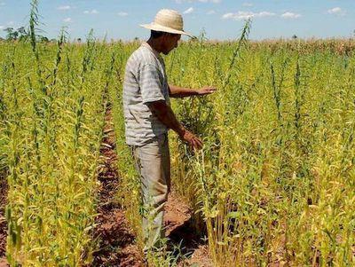 San Pedro: tras lluvias, productores de sésamo inician siembra