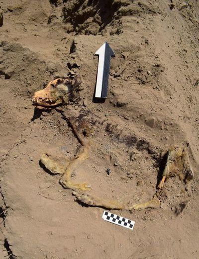Hallan un perro enterrado hace 1.000 años en complejo arqueológico de Perú