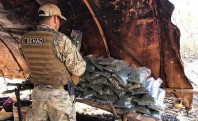 Destruyen 18 hectáreas de marihuana y 22 campamentos narcos