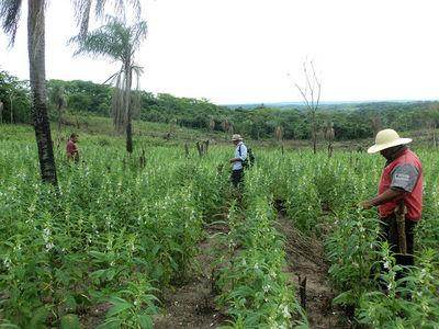 Agricultores retiran créditos para cultivar sésamo