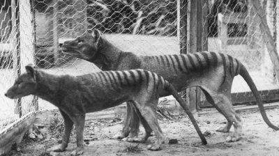 Misterio: Un animal que se creía extinto fue visto 8 veces en los últimos años